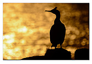 Common shag in silhuette at Hornøya, Finnmark, Norway. Nikon D4, 200-400mm @ 380mm, f9, 1/8000sec, ISO64, Manual modus
