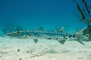 Great Barracuda (Sphyraena barracuda)<br /> BONAIRE, Netherlands Antilles, Caribbean<br /> HABITAT & DISTRIBUTION: Drift on reefs and open water<br /> Florida, Bahamas, Caribbean, south to Uruguay