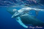 humpback whale mother and female calf, Megaptera novaeangliae, Vava'u, Kingdom of Tonga, South Pacific; calf is accompanied by commensal remora fish