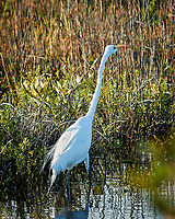 Great Egret along Black Point Wildlife Drive. Image taken with a Nikon N1V2 camera, FT1 adapter and 70-200 mm f/4 VR lens (ISO 160, 200 mm, f/4, 1/640 sec).