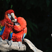 Two bright red Crimson Parrots on a branch with dark background with copyspace.