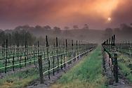 Fog at sunrise near Clautiere Vineyard, Penman Springs Road, Paso Robles San Luis Obispo County, California