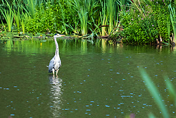 A Grey Heron (Ardea cinerea) of the  bird family: Herons, storks and ibises, wading in Daking Brook Cannon Hall Park and Gardens Barnsley South Yorkshire<br /> <br /> 22 August 2020<br /> <br /> www.pauldaviddrabble.co.uk<br /> All Images Copyright Paul David Drabble - <br /> All rights Reserved - <br /> Moral Rights Asserted -