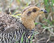 Close-up portrait of a male Coqui Francolin (Peliperdix coqui) squats in dry grass. Serengeti National Park, Tanzania.
