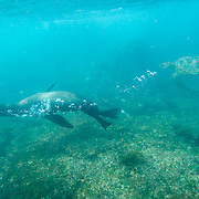 Galapagos Sea Lion (Zalophus californianus) and a Green Sea Turtle (Chelonia mydas) swimming in blue green water. Galapagos, Ecuador.