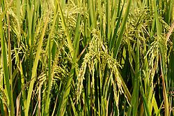 Oryza sativa, Balinesisches Reisfeld mit reifen Aehren, balinese ricefielsd with cornbob, spica, spicas, ear of corn,  Bali, Desa Umeanyar, Seririt, Indonesien, Indonesia Asien, Asia