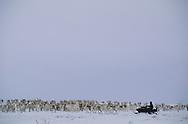 Reindeer moving, Finnmark, Norway