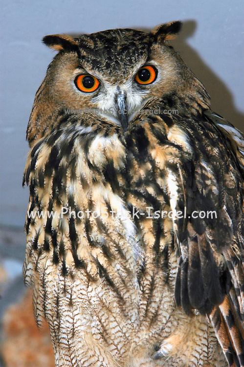 close up of an Eurasian Eagle Owl (Bubo bubo)