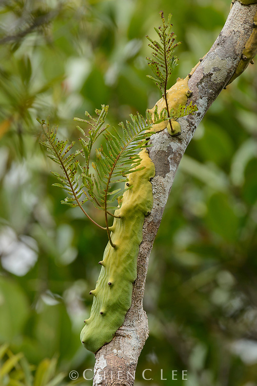 The genus Lecanopteris contains over a dozen species of epiphytic ferns, all of which are associated with ants (myrmecophytic). This species, L. mirabilis, which occurs in the Moluccas and New Guinea, has curious slug-like rhizomes which provide a sheltered space beneath for ants to live. The plant benefits from the presence of the ants because they deter herbivores and leave behind organic detritus. Halmahera, Indonesia.