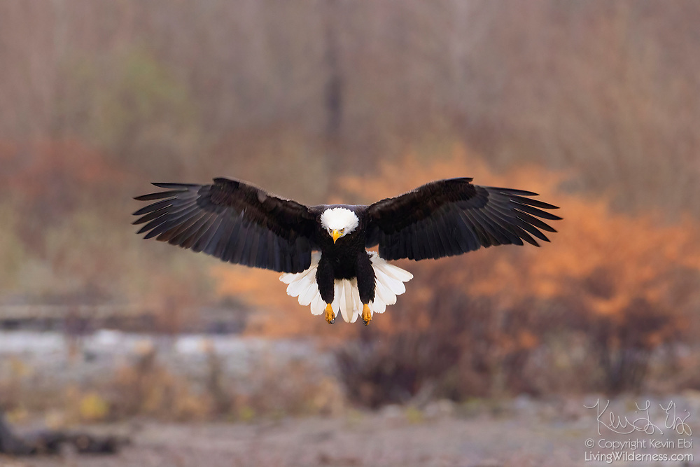An adult bald eagle (Haliaeetus leucocephalus) prepares to land on a gravel bar along the Nooksack River in Welcome, Washington. Hundreds of bald eagles winter in the area to feast on spawned-out salmon.