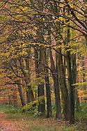 Beech Woodland at Holkham in Norfolk