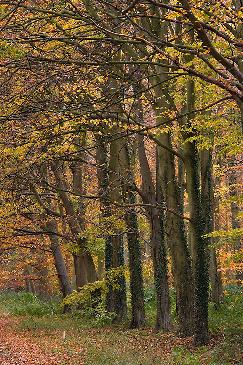 Beech Woodland at Holkham in Norfolk