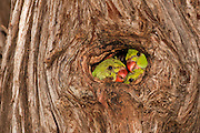 Israel, wild Rose-ringed Parakeet (Psittacula krameri), AKA the Ringnecked Parakeet Chicks in tree hole. The Rose-ringed Parakeet has established feral populations in various parts of the world including Israel, competes with the local wildlife and is considered a pest