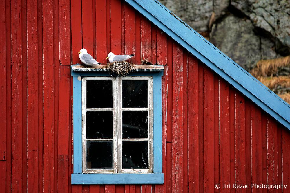 NORWAY LOFOTEN 29MAR07 - Seagulls nesting on a traditional fisherman's hut in the town of � on the Lofoten islands...jre/Photo by Jiri Rezac..© Jiri Rezac 2007..Contact: +44 (0) 7050 110 417.Mobile:  +44 (0) 7801 337 683.Office:  +44 (0) 20 8968 9635..Email:   jiri@jirirezac.com.Web:    www.jirirezac.com..© All images Jiri Rezac 2007 - All rights reserved.