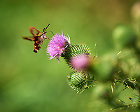 Hummingbird Clearwing Moth (Hemaris thysbe) feeding on a Thistle flower. Image taken with a Leica SL2 camera and 90-280 mm lens (ISO 250, 280 mm, f/4, 1/1000 sec).