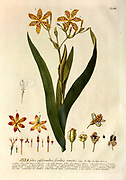Coloured Copperplate engraving of a flowering Ixia plant from hortus nitidissimus by Christoph Jakob Trew (Nuremberg 1750-1792)