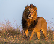 Big male lion (Panthera leo) from Maasai Mara, Kenya.