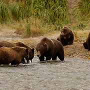 Alaskan Brown Bear (Ursus arctos) Mother and cub feeding on salmon on river bank, being confronted by another sow with cubs. Katmai National Park. Alaska. Summer.