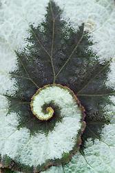 Markings on a leaf of Begonia 'L'escargot'