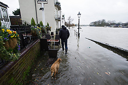 © London News Pictures. 31/01/2014. A man walking his dog through flood water covering the Thames Path riverbank at Strand-on-the-Green in Chiswick, West London, where the rRiver Thames has broken it's banks. Photo credit: Ben Cawthra/LNP
