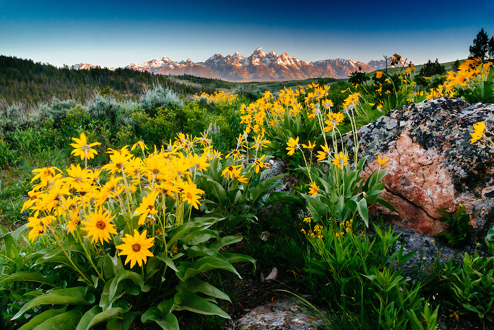 The sun rises over the Teton Range in Grand Teton National Park with the vivid yellow Arrowleaf Balasmroot flowers dominatiing the scene.