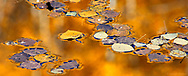 Aspen leaves adrift on the mirror surface of a pond that reflects the golden aspen trees.