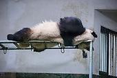 A Panda Sleeps On High Shelf