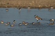 River lapwing (Vanellus duvaucelii)<br /> National Chambal Sanctuary or National Chambal Gharial Wildlife Sanctuary<br /> Madhya Pradesh, India<br /> Range: Indian Subcontinent & Asia
