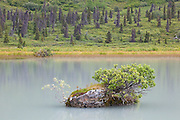 A tiny alpine plant community grows from a rock island in a lake in Donoho Basin, Wrangell-St. Elias National Park, Alaska.