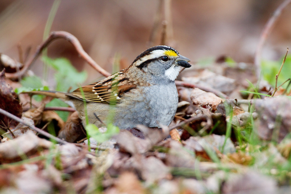 The White-throated Sparrow is a large, full-bodied sparrow with a fairly prominent bill, rounded head, long legs, and long, narrow tail.  TheWhite-throated Sparrows are brown above and gray below with a striking head pattern. The black-and-white-striped head is augmented by a bright white throat and yellow between the eye and the bill, which is gray.
