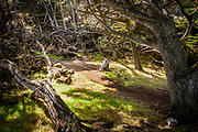Point Lobos State Reserve Cypress grove with woman on bench, near Carmel, California, Highway 1,