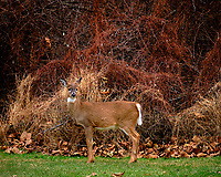 Doe in the Backyard Wondering Why I'm Holding a White Telephoto Lens. Image taken with a Fuji X-T3 camera and 200 mm f/2 OIS telephoto lens (ISO 160, 200 mm, f/2.2, 1/250 sec).