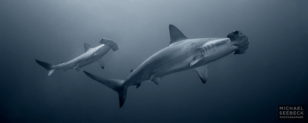 A pair of scalloped hammerhead sharks (Sphyrna lewini) visit me for a closer look while diving in deep water off Cocos Island, Eastern Pacific Ocean.<br /> <br /> Limited Edition Print