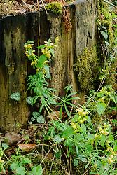 Bonte gele dovenetel, Lamiastrum galeobdolon subsp. argentatum