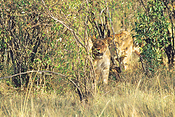 Lioness Peering From Behind Bushes