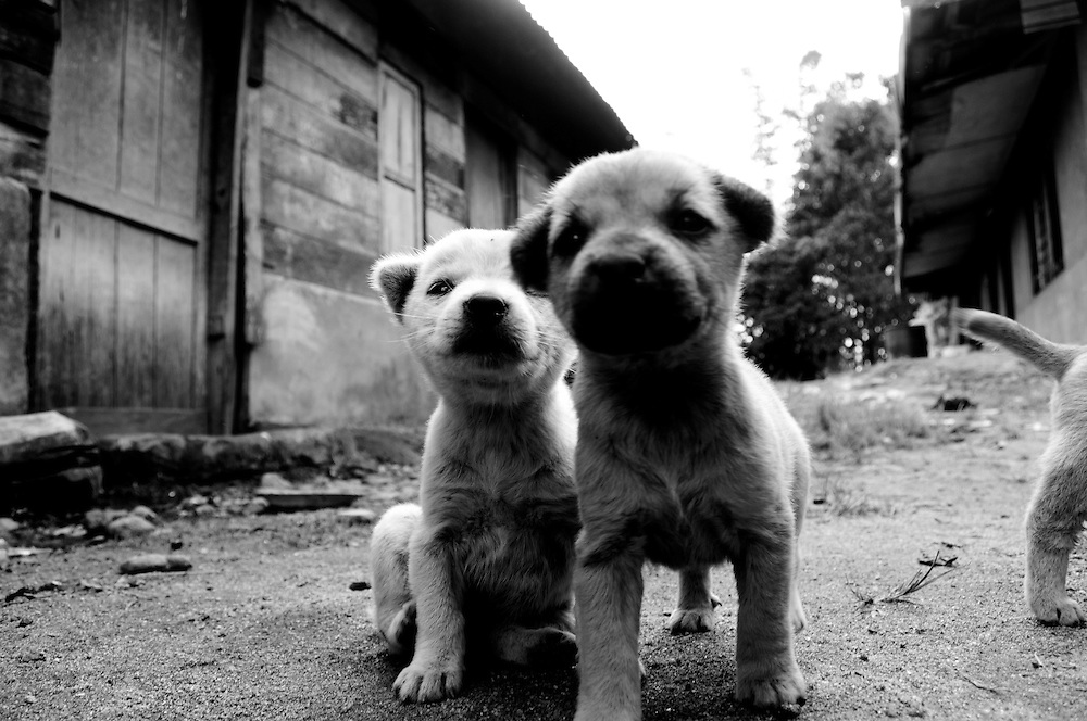 Young puppies in a small village in North Sumatra, near Lake Toba.