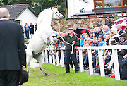 15/08/2013 Declan Ridge from Cashel with Earl of Clonriff a young stallion at the 90th Connemara Pony show in Clifden Co. Galway. Photo:Andrew Downes