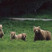Alaskan Brown Bear, (Ursus middendorffi) Sow with cubs in meadow alert for danger. Alaska Peninsula.