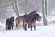 Exmoor Pony Equus ferus caballus is usually dark reddish brown and up to 1.25m at the shoulder. Note the dark nose, pale muzzle and pale eye surround.