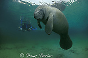photographer and Florida manatee, Trichechus manatus latirostris, Crystal River, Florida, United States