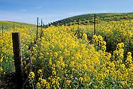 Mustard flowers bloom in spring in a vineyard, Carneros Region, Napa Valley Wine Country, California