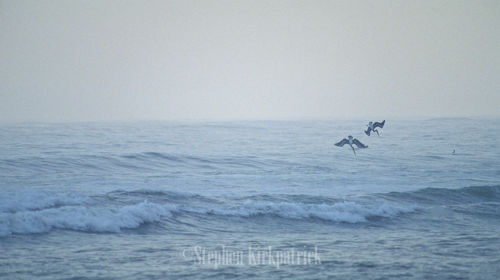 Brown pelicans dive into the surf on a very foggy morning off of the coast of Lima, Peru.