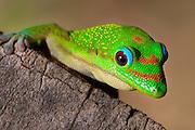 Madagascar day gecko on a log