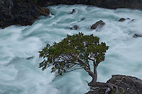 A lone lenga tree hangs precariously above a raging glacial current in Torres del Paine, Patagonia, Chile