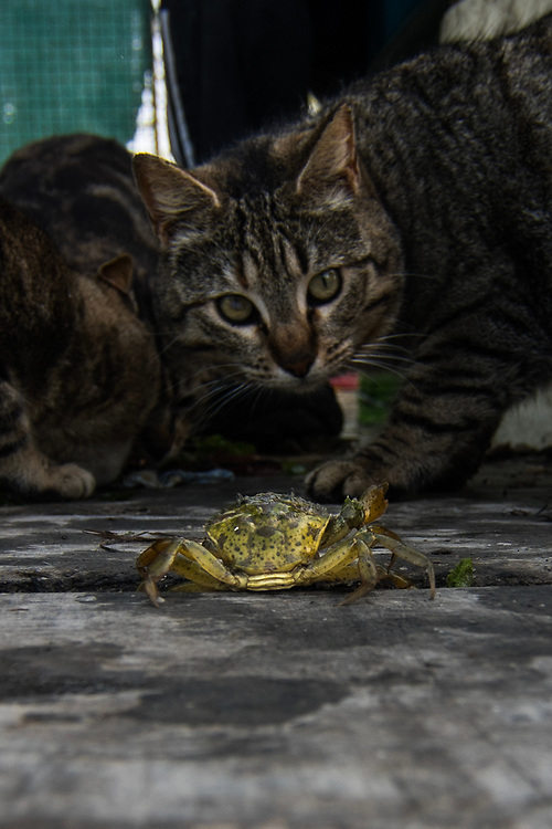 """VENICE, ITALY - APRIL 2018. <br /> A cat looks to a crab walking on the """"cason"""", the typical temporary house used by the fishermen. This houses are built on the island of the Venetian lagoon, and in each  house there is always a group of cats. It is a mutual relation, in which both cats and human being cooperate naturally: cats keep clean the houses from rats and other animals, the fishermen take care of them, feeding and checking them helped by vets."""