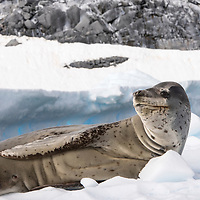 A lone leopard seal rests on a piece of sea ice in Port Charcot near Booth Island, Antarctica.