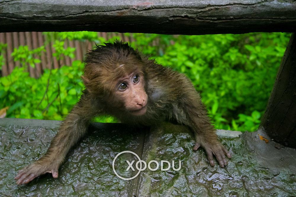 Sneaky monkey, Baoguo Si, China (May 2004)