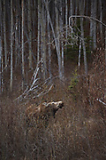 A female moose (Alces alces) forages at the forest's edge along the Glenn Highway, Alaska.