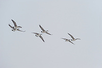 Canada Goose (Branta canadensis), Lake Tysslingen, Sweden. March 2009. Mission: Sweden (crane and swan)