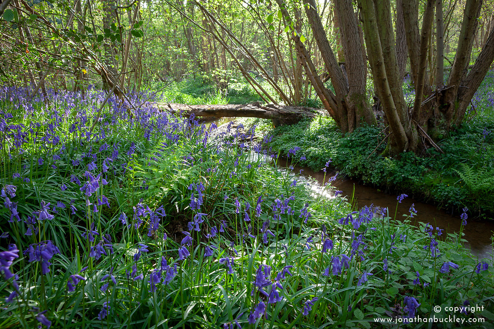 Bluebells growing by a stream in a wood in Kent. Hyacinthoides non-scripta